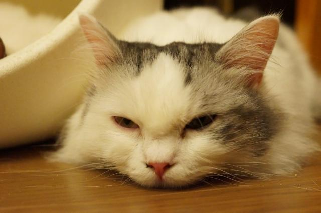 ぐったり猫1